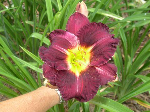 Magnum Purple
